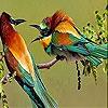 Пятнашки: Потрясающие птицы (Two amazing bird slide puzzle)