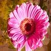 Пазл: Розовый цветок (Jigsaw: Pink Peddles)