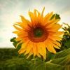 Пазл: Подсолнух 2 (Jigsaw: Sunflower 2)