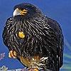 Пазл: Суровые черные птицы (Harsh black bird puzzle)