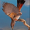 Пятнашки: Птица (Acrobat bird slide puzzle)
