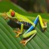 Пазл: Лягушка (Frogs Jigsaw)