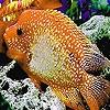 Пазл: Большая оранжевая рыбка (Big orange fish puzzle)