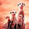 Пятнашки: Семейство суриков (Little shy meerkat family slide puzzle)