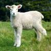 Пазл: Овечка (Jigsaw: Lamb)