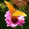 Пазл: Оранжевая бабочка (Jigsaw: Orange Butterfly)