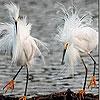 Пятнашки: Белоперые (White hairy birds slide puzzle)