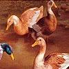 Пятнашки: Утки (Talking duck friends slide puzzle)
