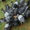 Пятнашки: Голуби (Pigeons Slider)