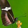 Пазл: Фантастическая бабочка (Fantastic butterfly puzzle)