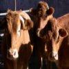 Пятнашки: Коровы (Cow Slider)