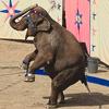 Пазл: Цирковой слон (Circus Elephant jigsaw puzzle)