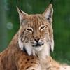 Пазл: Сонная рысь (Jigsaw: Sleepy Wild Cat)