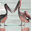 Пятнашки: Пеликаны (Pelicans at the beach slide puzzle)