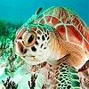 Пазл: Черепахи красного моря (Red sea turtle puzzle)